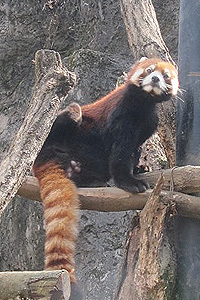 多摩動物公園のレッサーパンダ