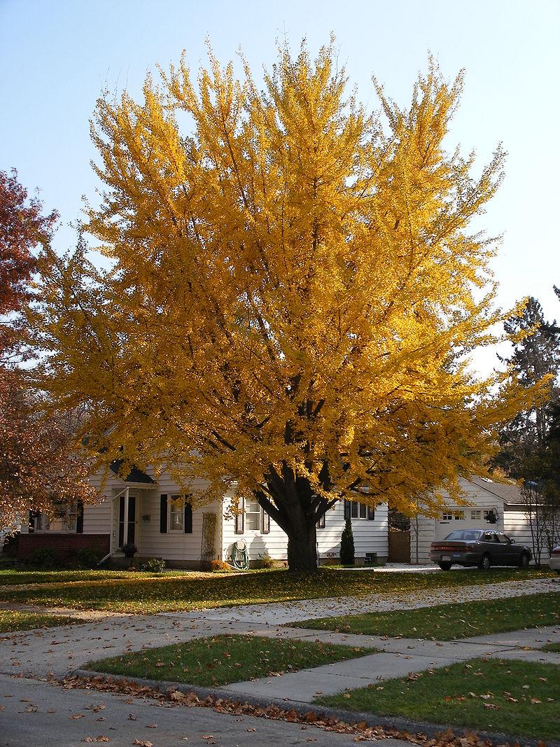 800px-ginkgo_tree_08-11-04a